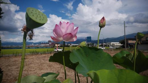 ☆晴れ渡る日の蓮の花(*^o^*)☆/