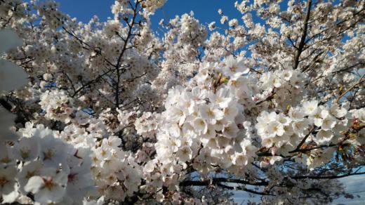 ☆今年も変わらず桜は、満開!(^o^)☆/