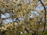 「桜まつりが終了しました」のサムネイル