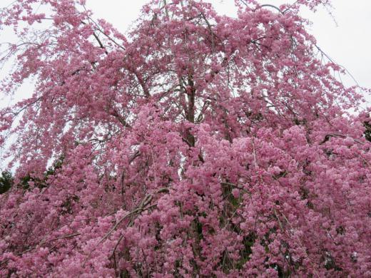 枝垂桜が満開です/