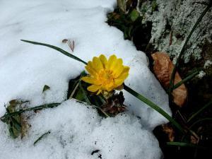 「春を告げる花、福寿草」の画像