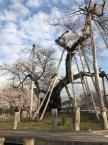「久保桜」の画像