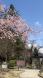 2020-4-9 上杉神社の桜:2020/04/09 10:22