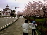 「桜がいっぱい。」の画像