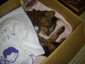 「我が家の猫 チョコ逝く」の画像