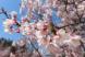 '21 長井市内の桜開花情報(4月8日):2021/04/08 13:29