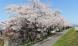 '21 長井市内の桜開花情報(4月12日):2021/04/12 08:29