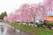 '21 長井市内の桜開花情報(4月14日):2021/04/14 09:17