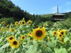 「安久津八幡神社(歴史公園)ひまわり開花情報」の画像