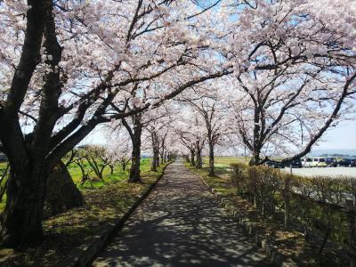 「まほろばの緑道 桜満開です。」の画像