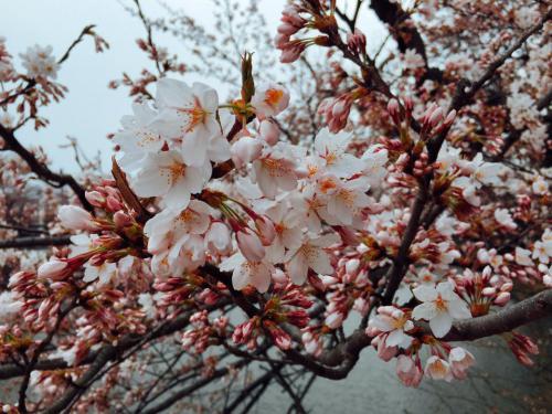 「4月11日の雪と松ケ岬公園の桜」の画像