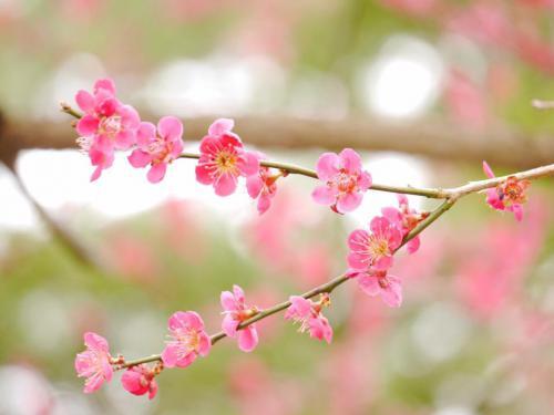 「梅や山野草、桜まで咲きました!ー湯の沢温泉 時の宿すみれの 花便りー」の画像