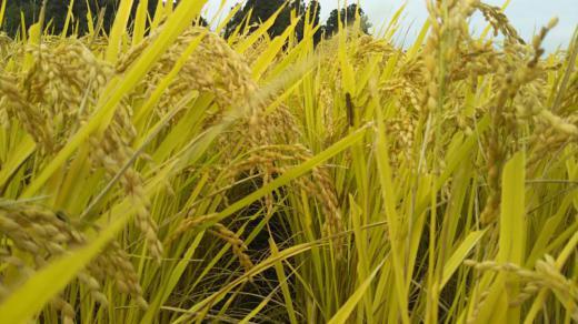 無農薬米収穫しました/