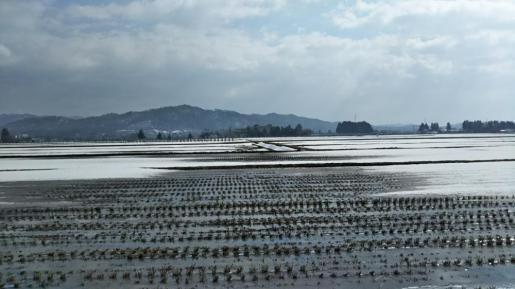2019/02/23 13:50/もう、田んぼの土が見えてきました