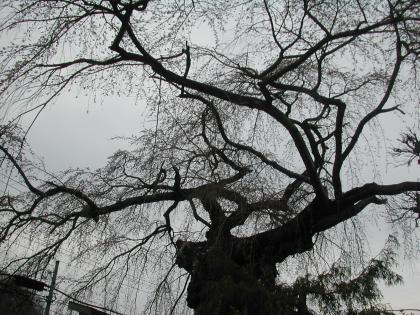山形市平清水、平泉寺の桜/