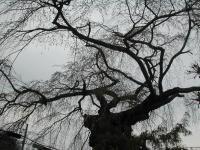 「山形市平清水、平泉寺の桜」の画像