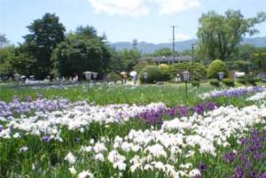 「長井市のアヤメ公園の花」の画像