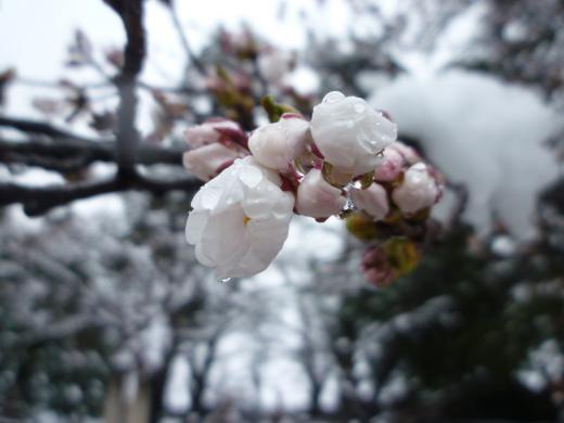 2013年松が岬公園(上杉神社)桜情報4月21日(金)雪桜/