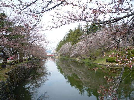 2013年松が岬公園(上杉神社)桜情報4月24日(火)3分咲き/