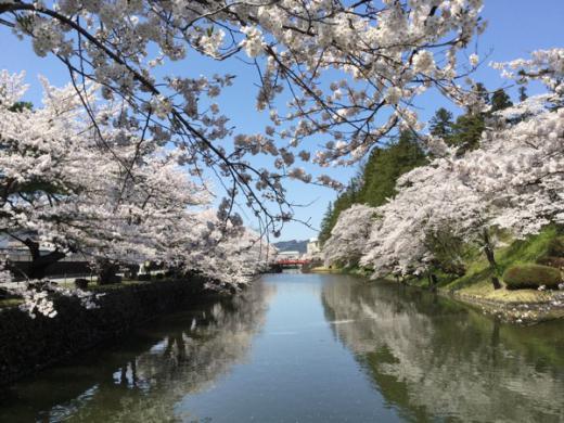2015-4-23 松が岬公園の桜/
