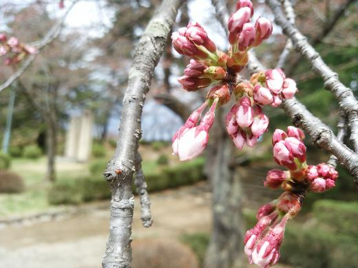 2016年松が岬公園(上杉神社)桜情報4月8日(金)まもなく開花♪/