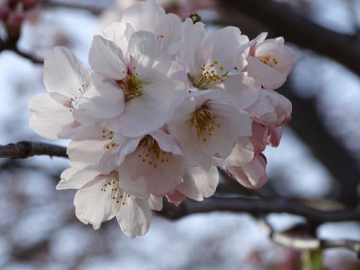 2016-4-9  伝国の杜駐車場の桜/