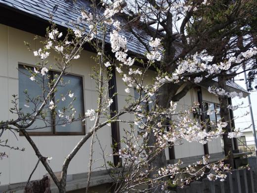 2016-4-9 大門交番の桜は開花/