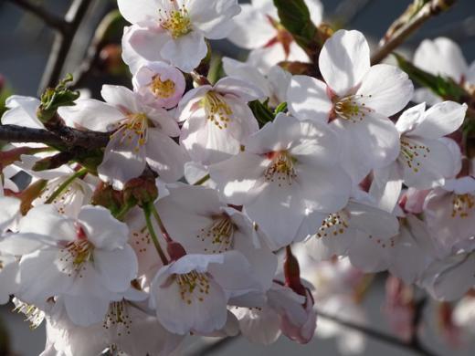 2016-4-9 大門交番の桜/