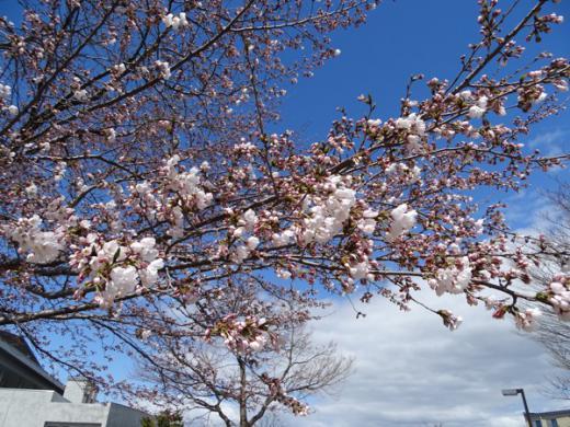 2017-4-18 松が岬公園の桜/