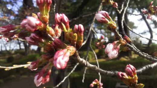 松が岬公園(上杉神社)桜情報 4月15日(月)開花しました!/