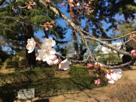 2019-4-16 上杉神社の桜が開花/