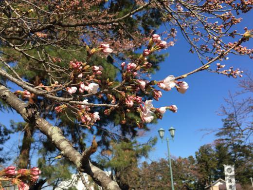 2019-4-16 上杉神社の桜/