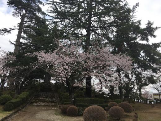 2019-4-19 上杉神社の櫻/
