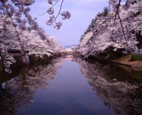 「2020年松が岬公園(上杉神社)桜情報」の画像