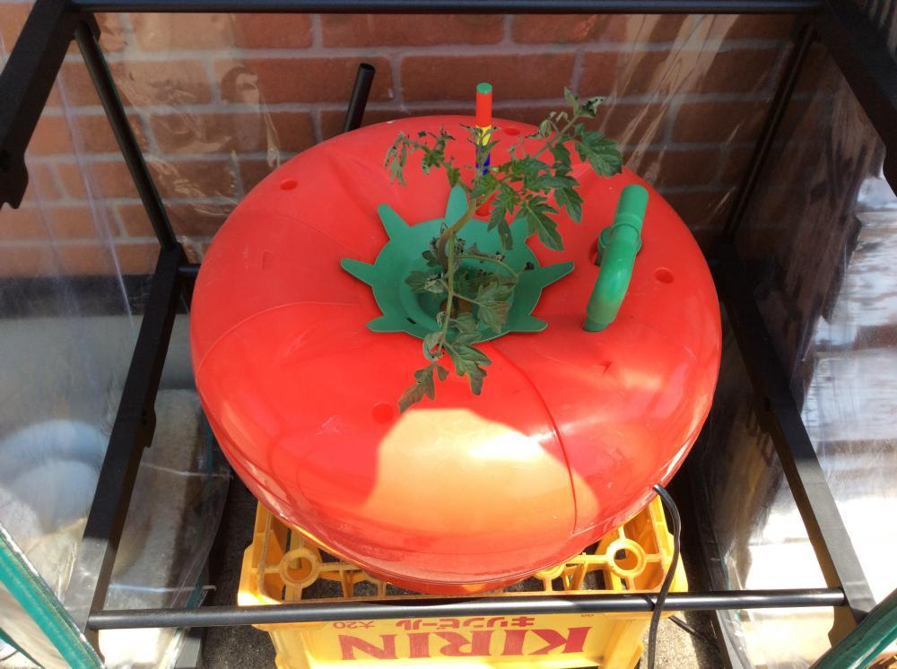 水で育てる???トマト