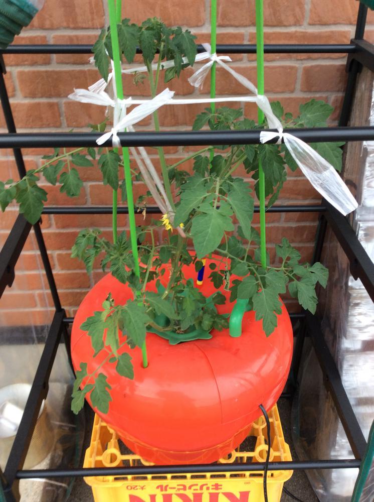 水耕栽培の野菜たち、順調です!
