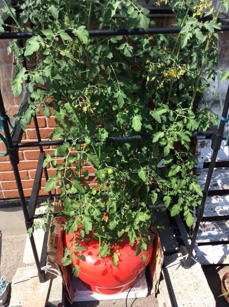 水耕栽培トマト、ついに身長越え!