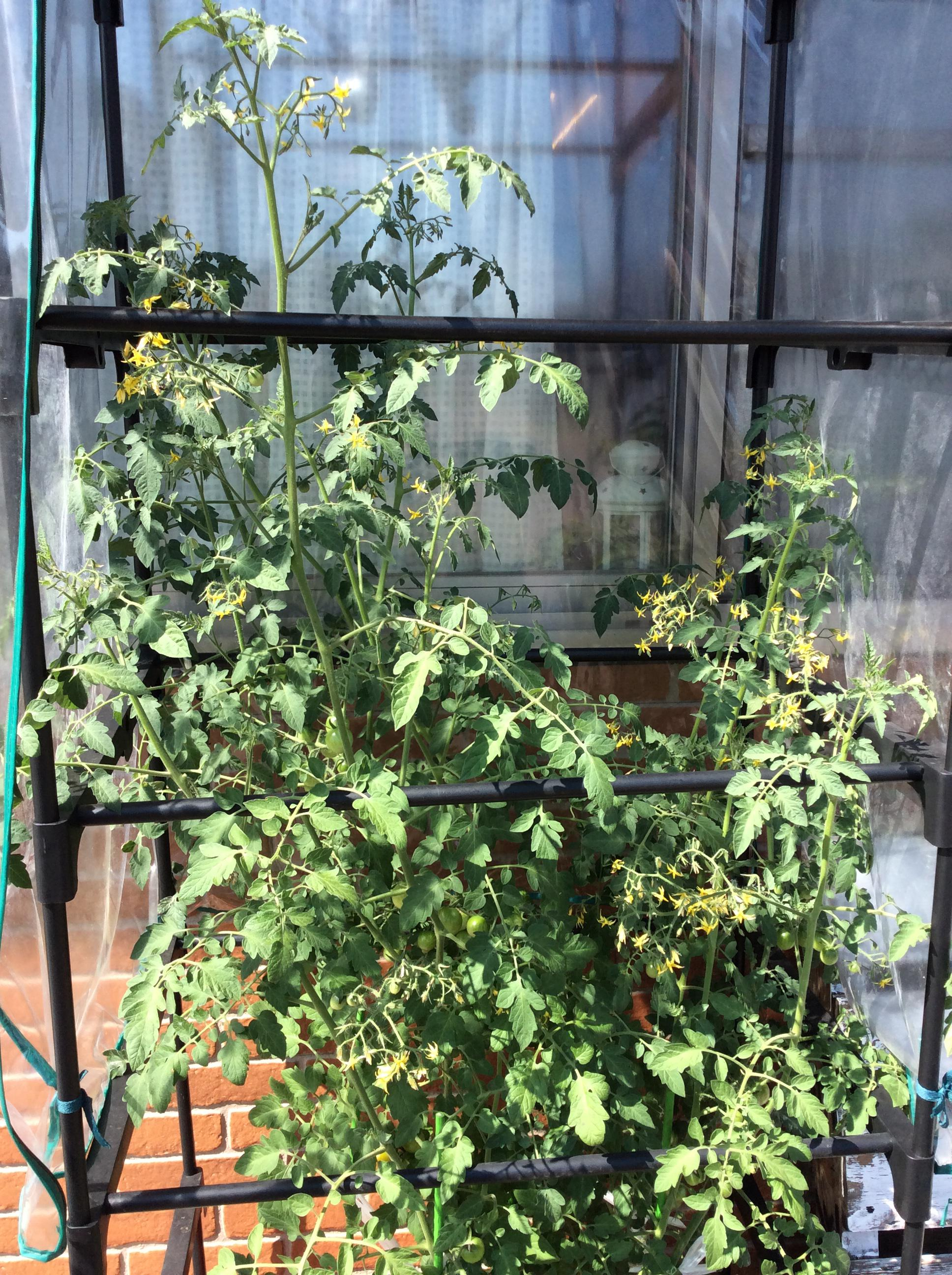 Water culture tomato, it is exceeded height at last!