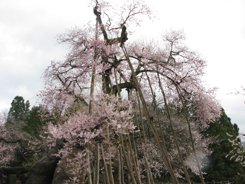 ★2011年★久保桜開花情報 NO,6