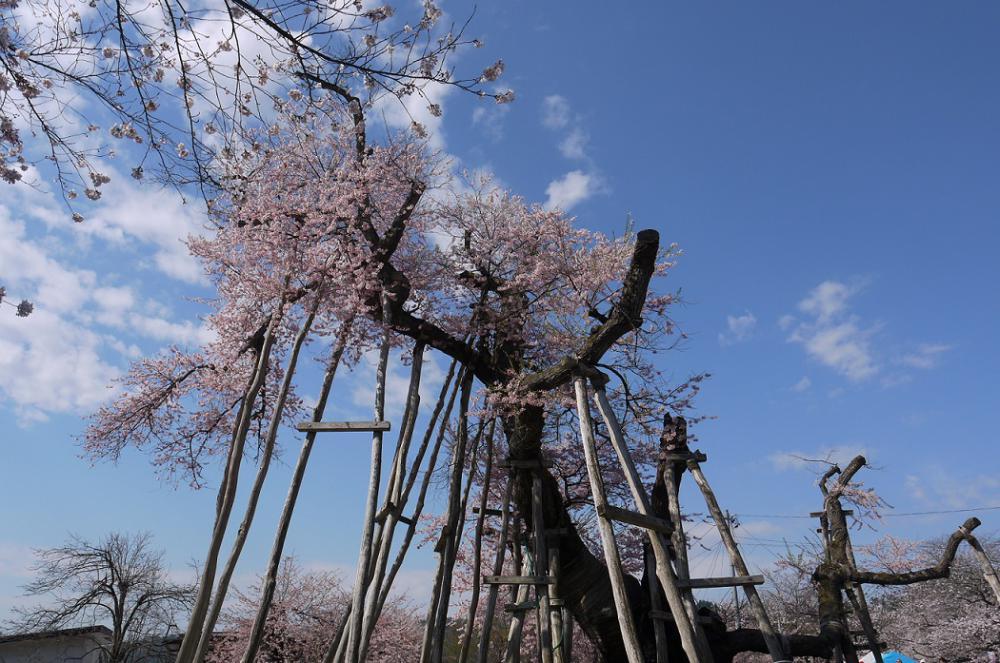 2015年久保桜開花情報