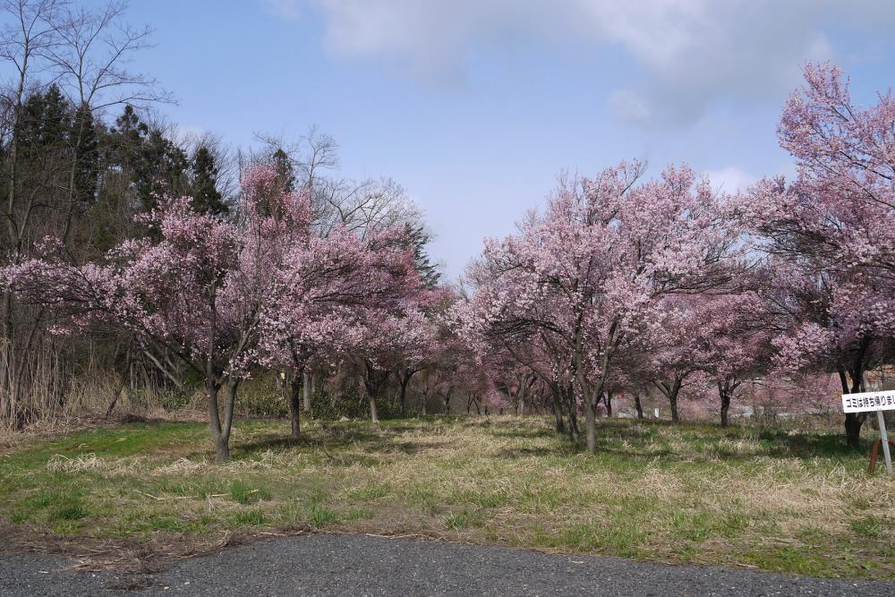 2016年久保桜開花情報