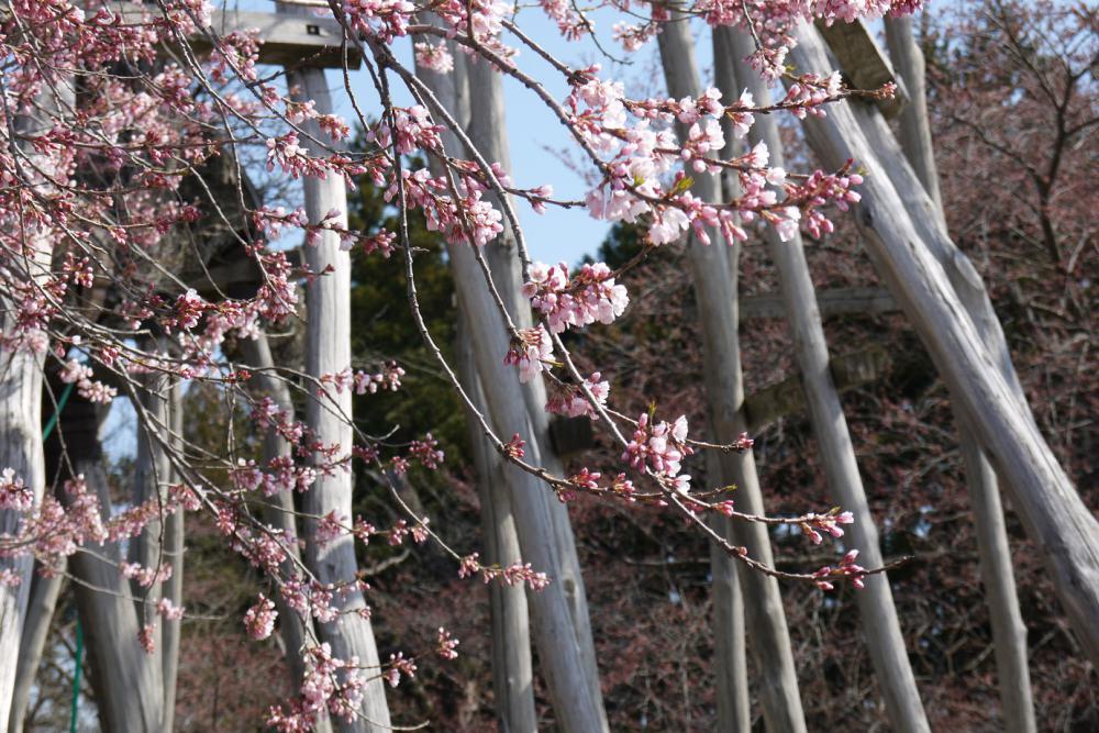 2016年久保桜開花情報(4/12)