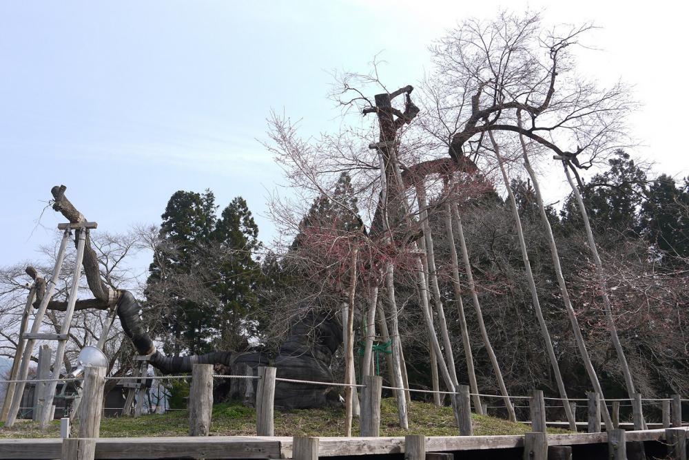 2017年 伊佐沢の久保桜開花情報4/18