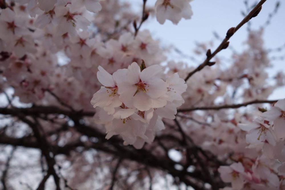 高畠にも桜の便り