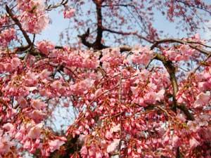 桜咲き始め:画像