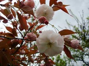 遅めの桜:画像