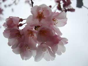 桜咲く:画像