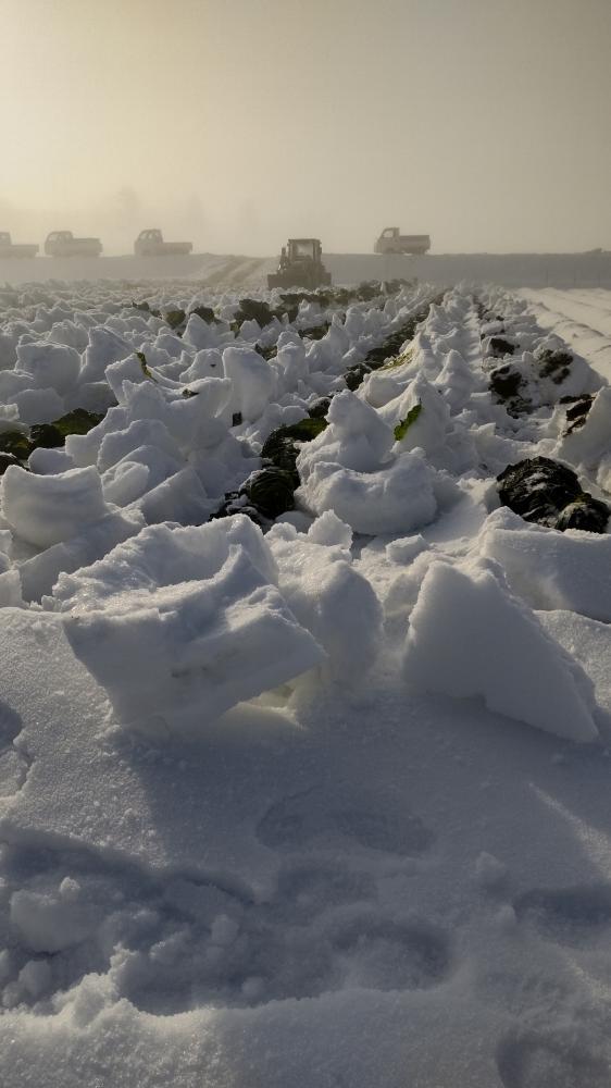 キャベツの収穫:画像