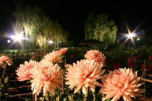「k-fan「明日15日(土)より、ダリヤ園ライトアップ!花火に獅子舞に生ビールだ」の画像