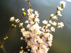 啓翁桜をいただきました!